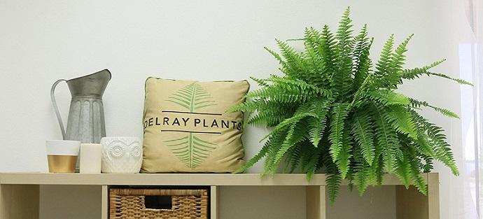 a green Delray Plants Boston Fern in Hanging Basket