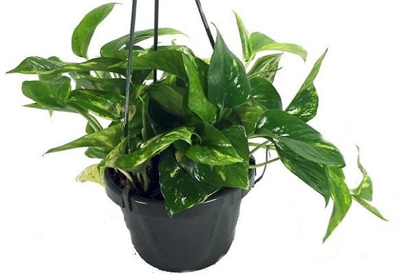 an Golden Devil's Ivy plant in a black hanging pot