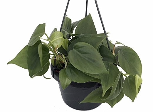 an indoor hanging Heart Leaf Philodendron plant