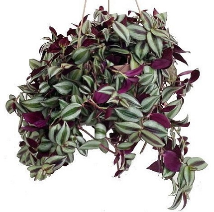 a beautiful luxuriant Purple Wandering Jew plant