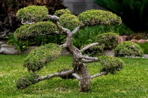 Bonsai treesin the garden for Good luck and harmony
