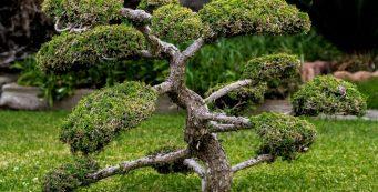 Bonsai treesin the garden for Good luck and harmony